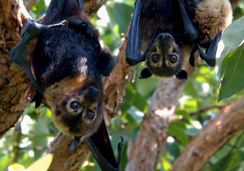 KIDIKE PEMBA FLYING FOX FOREST